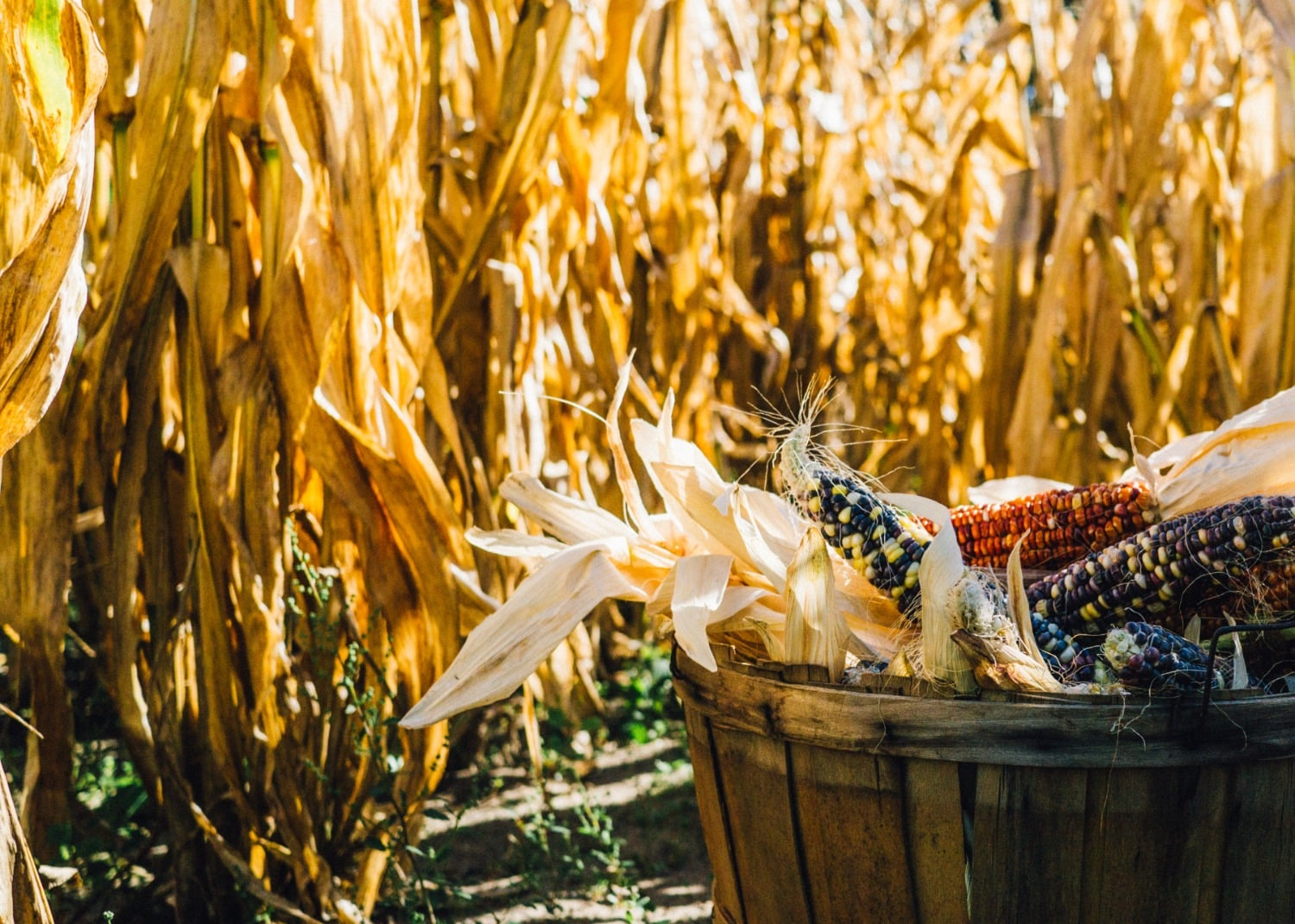 corn in wood barrel in foreground, dry corn stalks in background